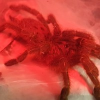 What's red, mean and freshly molted?