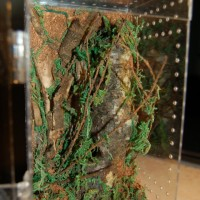 Poecilotheria metallica enclosure