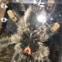 Avicularia avicularia [ventral sexing] [3/3]