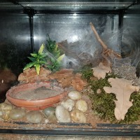 N. incei gold enclosure