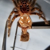 Grammostola pulchripes [molt sexing] [1/2]