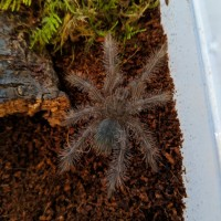 Theraphosa blondi sling