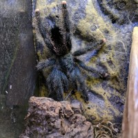 Avicularia sp. Identification