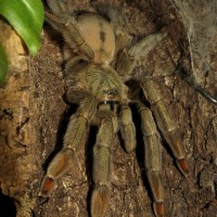 "Squirt's Log (♀ Psalmopoeus cambridgei 5.5"")"