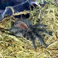 Sold as Grammostola pulchra