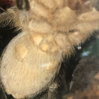 Please be a dude Aphonopelma seemanni