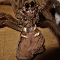 Theraphosa stirmi molt
