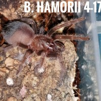 B. Hamorii slowest grower of 90 ts
