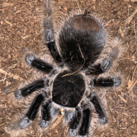 B. Albopilosum doubled in abdominal size without extra food.