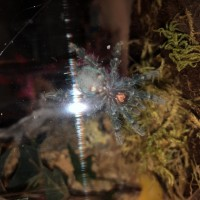 Caribena versicolor...male or female?