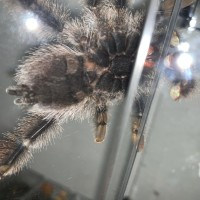 A.avicularia M1 50/50 on this one