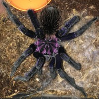 Ultimate Xenesthis intermedia - Amazon Blue Bloom Birdeater