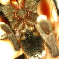 Aphonopelma cf. hentzi [ventral sexing]
