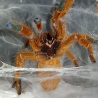 Sex me please P.murinus OBT