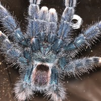 Sold as A. Avicularia but maybe A. Geroldi