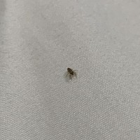 What kind of jumping spider is this?