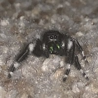 Phidippus audax saved from death by a jack in the box employee.