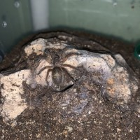 H. Pulchripes sling