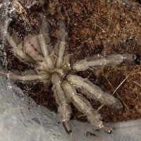 P. cambridgei Freshly Molted Unsexed