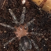 Cyriocosmus perezmilesi finally bigger than a dot with legs