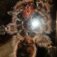 G. Pulchripes Male or Female?