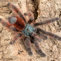C. versicolor male (Tiddleywinks)