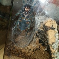 Chromatopelma cyaneopubescens [ventral sexing]