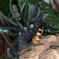 A. Avicularia 'Smurf' threat posture at her dinner.