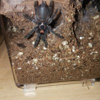"3"" Psalmopoeus cambridgei [ventral sexing]"