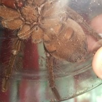 Theraphosa stirmi [ventral sexing]