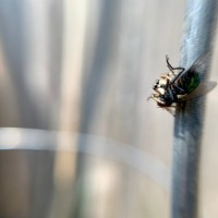 Back yard Jumping spider