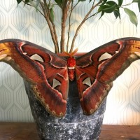 Attacus atlas - male