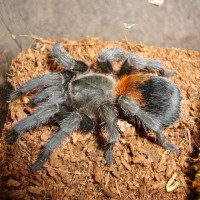 Peach Freshly Molted