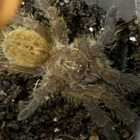 Meet Irascible. My sweet P. murinus