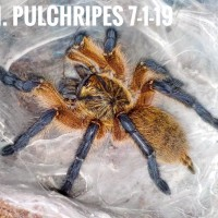 Love this pulchripes