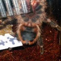 Determining the sex of my Grammostola pulchripes [1/2]