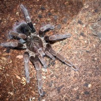 Pamphobeteus fortis Sub-Adult Female ~5""