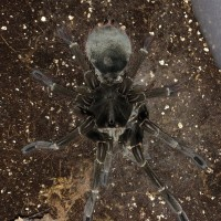 T. stirmi female post-molt