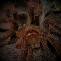 0.1 Theraphosa stirmi