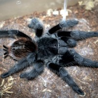 Grammostola actaeon Sub-Adult Female - ~5""