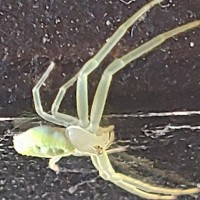 Crab Spider ID