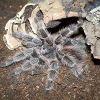 Lasiodora difficilis Sub-Adult Female - ~5""