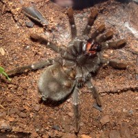 "Finally! (♀ Grammostola pulchra 3.5"")"