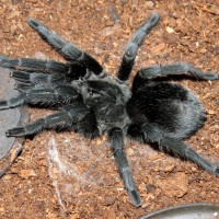 "BBB: Big Beautiful Bulldozer (♀ Grammostola pulchra 3.5""+)"