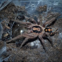 Hapalopus sp. Colombia Large Mature Male RIP ♥