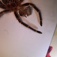 "2"" Grammostola pulchripes [molt sexing] [1/2]"