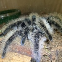 My first tarantula! Meet Athena