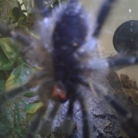 "5"" Avicularia avicularia [ventral sexing] [1/2]"