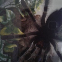 "5"" Avicularia avicularia [ventral sexing] [2/2]"