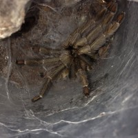 0.1 P. cambridgei Freshly Molted